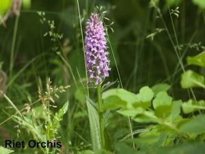 Riet Orchis AP Verwoerd