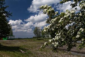 Meidoorn-is-een-traditionele-struik-op-een-eendenkooi