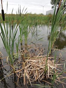 Meerkoet-nest