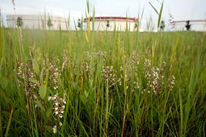 moeraswespenorchis-©-Elsken-Ecologie