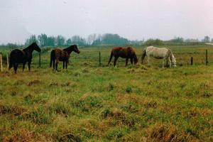paarden-in-de-wei-op-Ruigoord